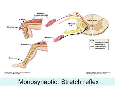 diagram of reflex stretch reflex diagram best free home design idea