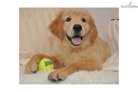 show me pictures of baby golden retrievers golden retriever puppy for sale near springfield missouri 32bb90db 9b71
