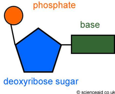 diagram of nucleotide 3 3 7 1 dna structure i am so
