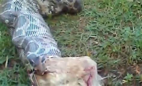 snake eats puppy snake eats on liveleak potentially disturbing content