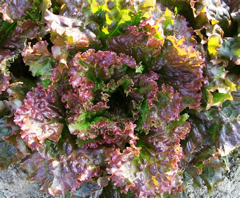 red sails looseleaf lettuce   southern exposure