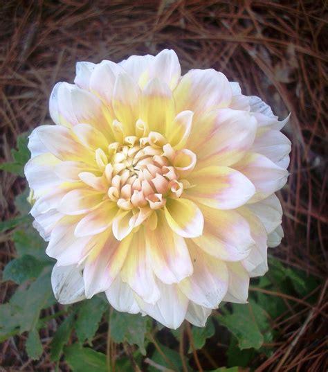 dawn s garden my seattle dahlia is blooming