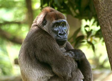 File:Cross-river-gorilla.jpg - Wikimedia Commons