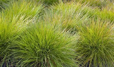 how to plant winter grass news festuca