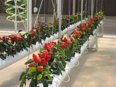 Harga Bibit Kangkung Per Kilo tanaman paling menguntungkan bibit