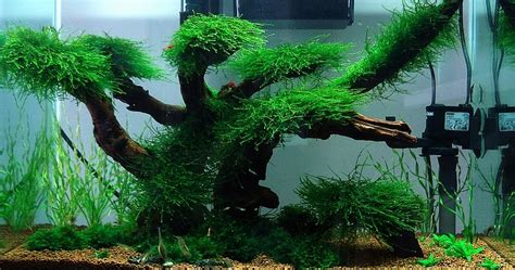 aquascaping ideas  maintenance moss tree layout