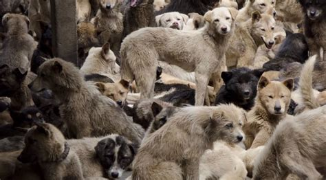 dogs in china reviled china prompts debate radio international