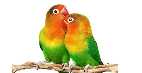 love bird rescue bird adoption near me find your local service