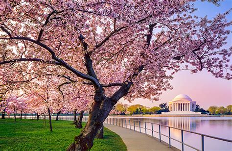 cherry blossom festival dc where to see spring flowers in the us