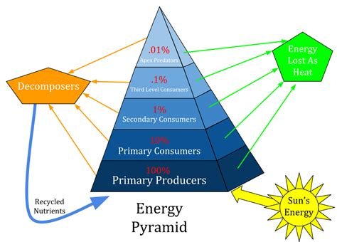 diagram of trophic levels ecological pyramid