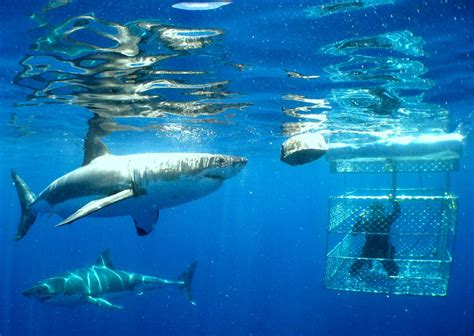 great white shark dive great white shark cage diving i south africa