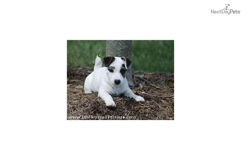jacks puppy farm branch farm terriers breeds picture
