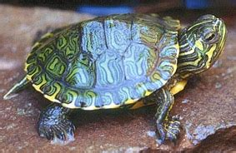 lade per tartarughe d acqua trachemys scripta scripta tartaruga dalle orecchie gialle