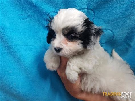 corgipoo puppies corgipoo puppies at puppy pad corgi x poodle for sale in loganholme qld corgipoo
