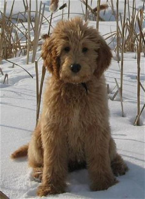 goldendoodle puppy wanted goldendoodle forum choisir chien golden retriever