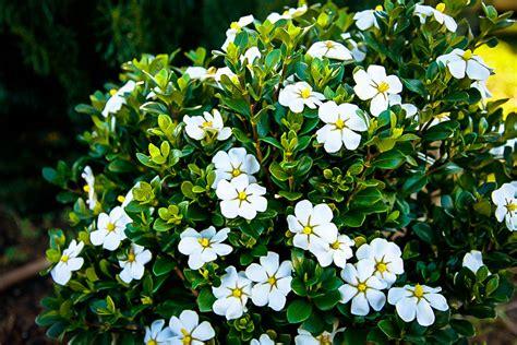 scentamazing gardenias  sale   tree center
