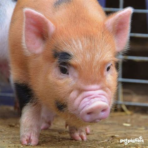 micro pigs for sale uk 1000 images about micro mini pigs on pinterest
