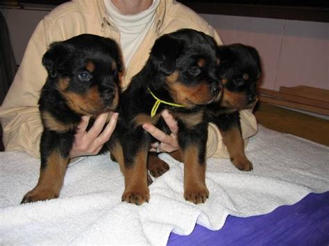 puppy rottweiler for adoption pin german rottweiler puppies for sale adoption in hong kong adpostcom on