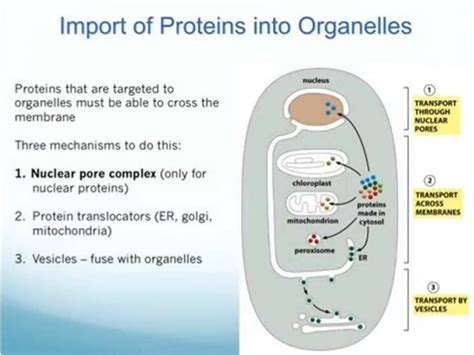 protein transport protein transport targeting and sorting