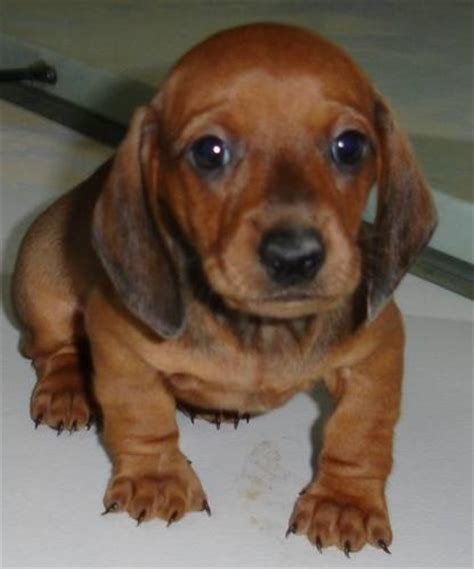 mini dachshund puppy puppy dogs miniature dachshund puppies