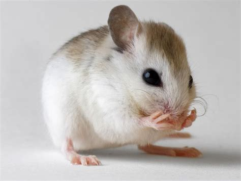 mice made quot quot may lead to anti aging treatments