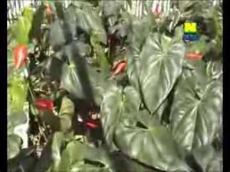 Pupuk Organik Untuk Bunga Hias pupuk organik nasa untuk tanaman hias anthurium bunga