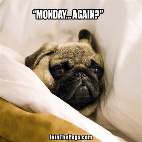 Funny Pug Memes - 8 best pug love images on pinterest funny animal funny