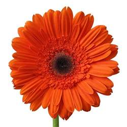 White Farm Table Dark Orange Super Gerbera Daisy