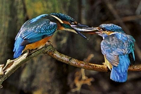 totally hooked on kingfishers: one man's love affair with