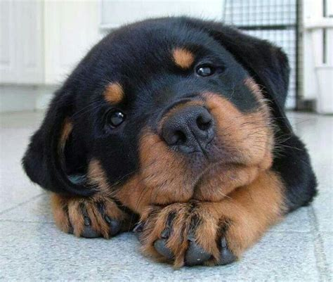 dogs like rottweilers 1000 ideas about rottweiler puppies on