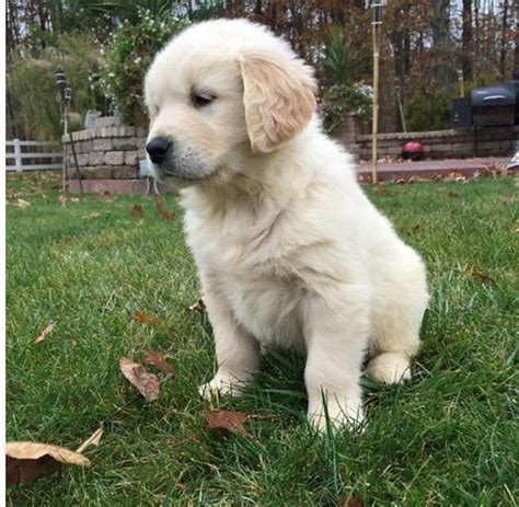 trained golden retriever puppies for sale archive excellent trained golden retriever puppies for sale pretoria co za