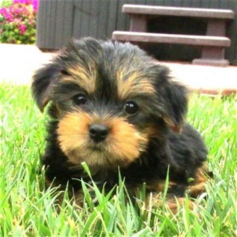 teacup yorkies for sale in kansas city missouri dogs kansas city mo free classified ads