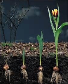 what is a plant bulb the garden of eaden