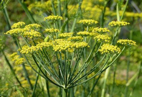 fiori di finocchio fiori di finocchio tisane e ricette per dimagrire e depurarsi