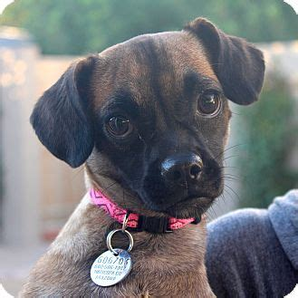 pugs in arizona az pug chihuahua mix meet angi a for adoption