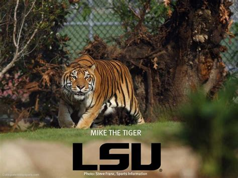 photo lsu fan paints with tiger stripes bso