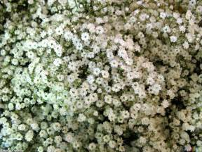 Bridal Bouquets Tiny White Flowers Wallpaper 11753 Open Walls