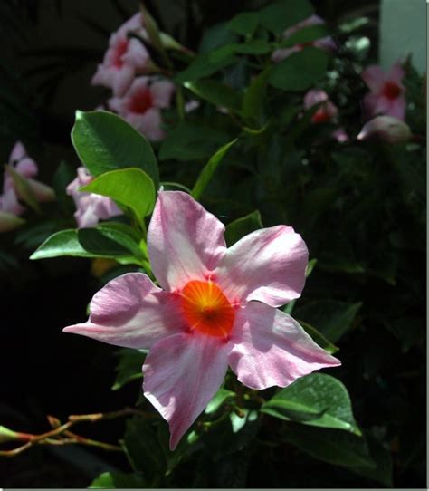 pretty climbing plants 29 best images about climbing plants on the