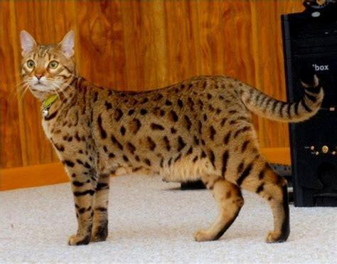 sketchbook untuk cat air kucing bengal cat www kucing biz