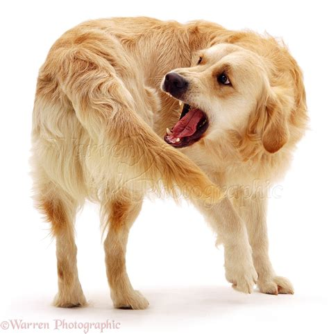 chaising tails dog golden retriever chasing his tail photo wp04014