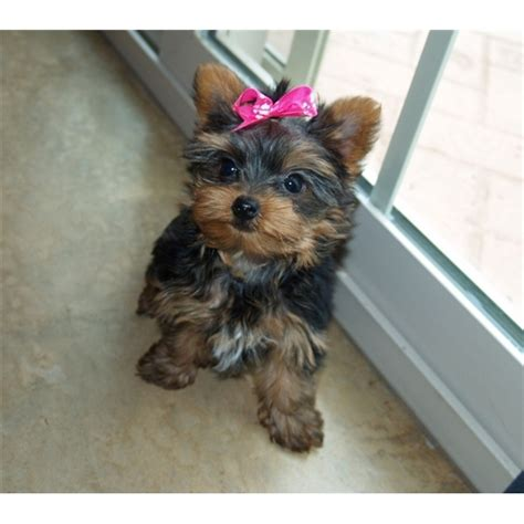yorkie puppies for sale 200 dollars teacup yorkies for 300 dollars for sale united states pets 4