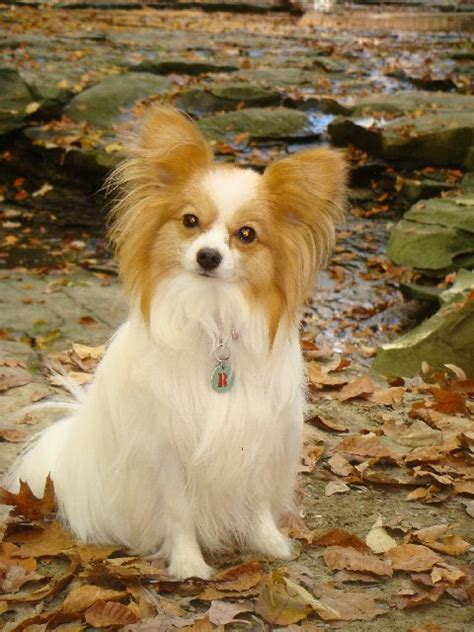 papillion tail how long to keep hair papillon dog wikipedia