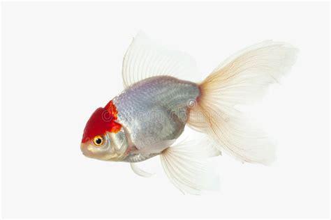 pesce testa di pesce pesce rosso bianco di oranda con la testa di rosso