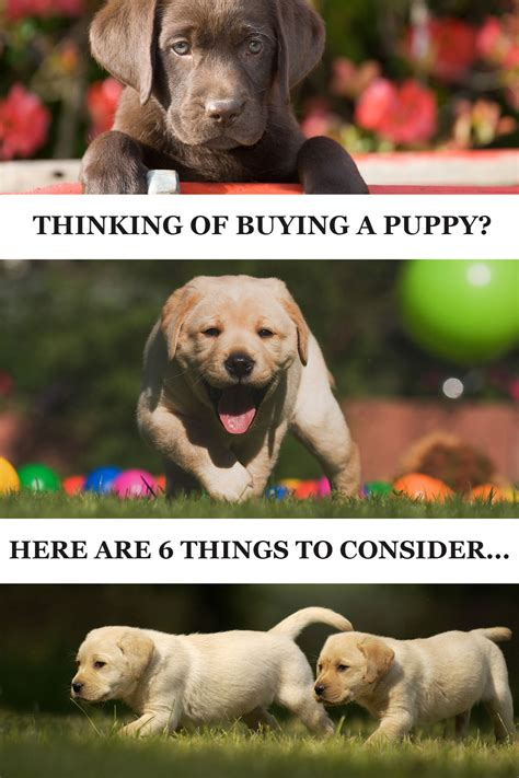 buy labrador puppy buying a labrador puppy dogs in our photo