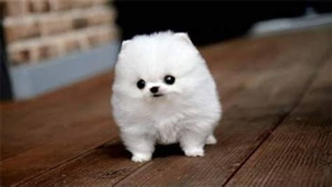 marshmallow puppy puppy or marshmallow a things