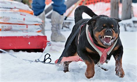 rottweiler pulling competition rendezvous antics yukon news