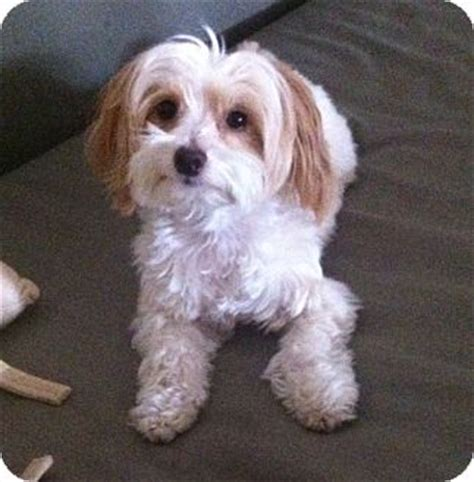 havanese and maltese mix studio city ca maltese havanese mix meet nobu a for adoption