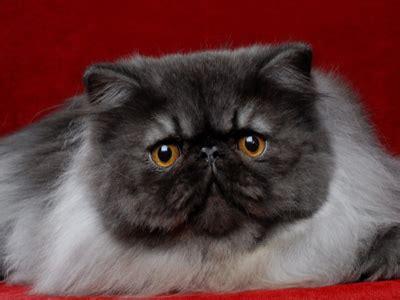 toltechi persiani risultati espositivi gattipersiani it gatti persiani