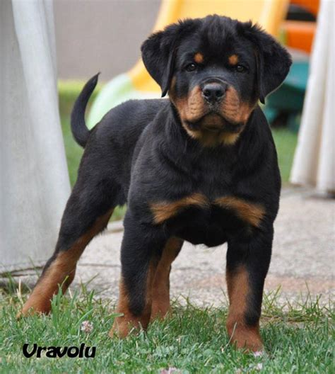 2 month rottweiler pics for gt rottweiler puppies 2 month