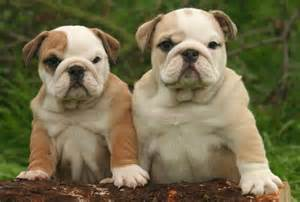 Pin very cute bulldog puppies pics on pinterest